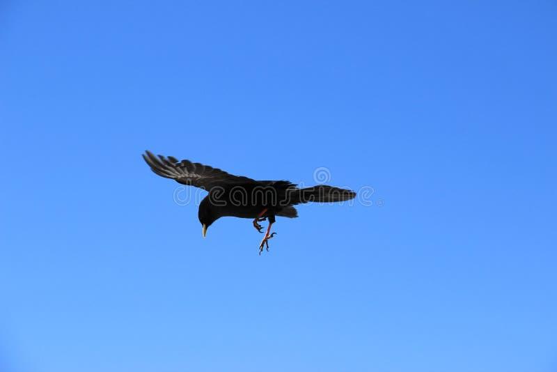 Het vliegen van de Merel stock afbeeldingen