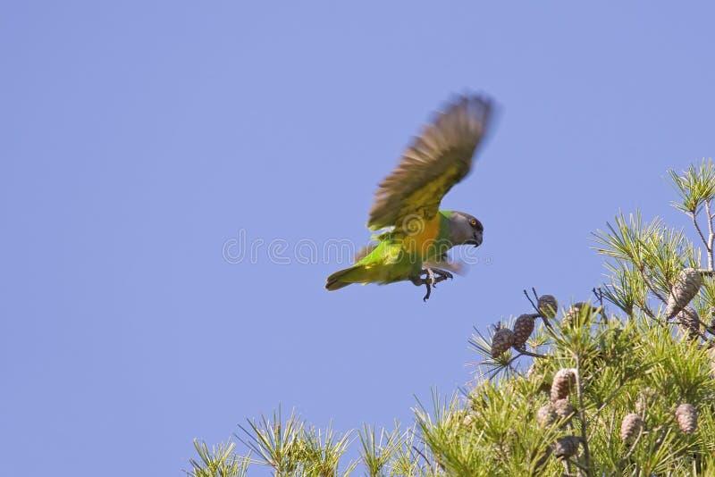 Het Vliegen van de Papegaai van Senegal stock afbeeldingen