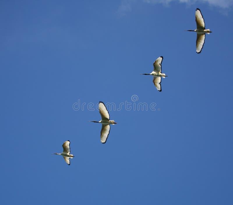 Het vliegen van de vorming stock fotografie