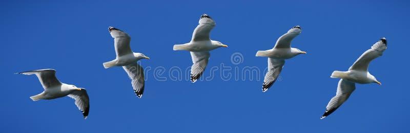 Het vliegen van de zeemeeuw royalty-vrije stock afbeelding