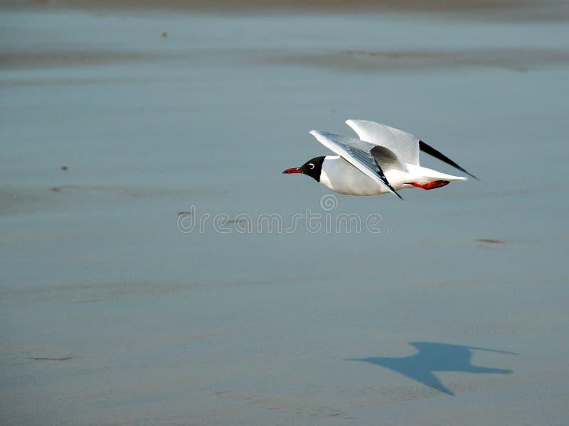 Het vliegen van de zeemeeuw. stock foto