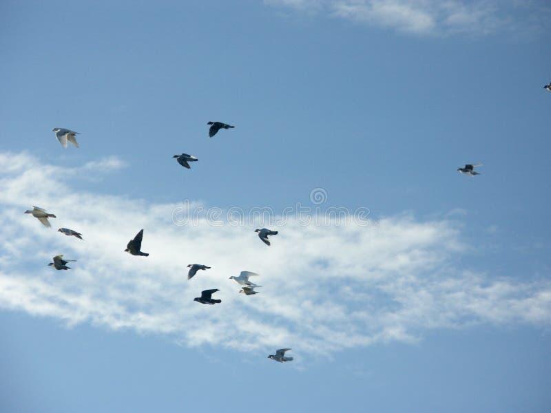 Het Vliegen Van Duiven Stock Foto