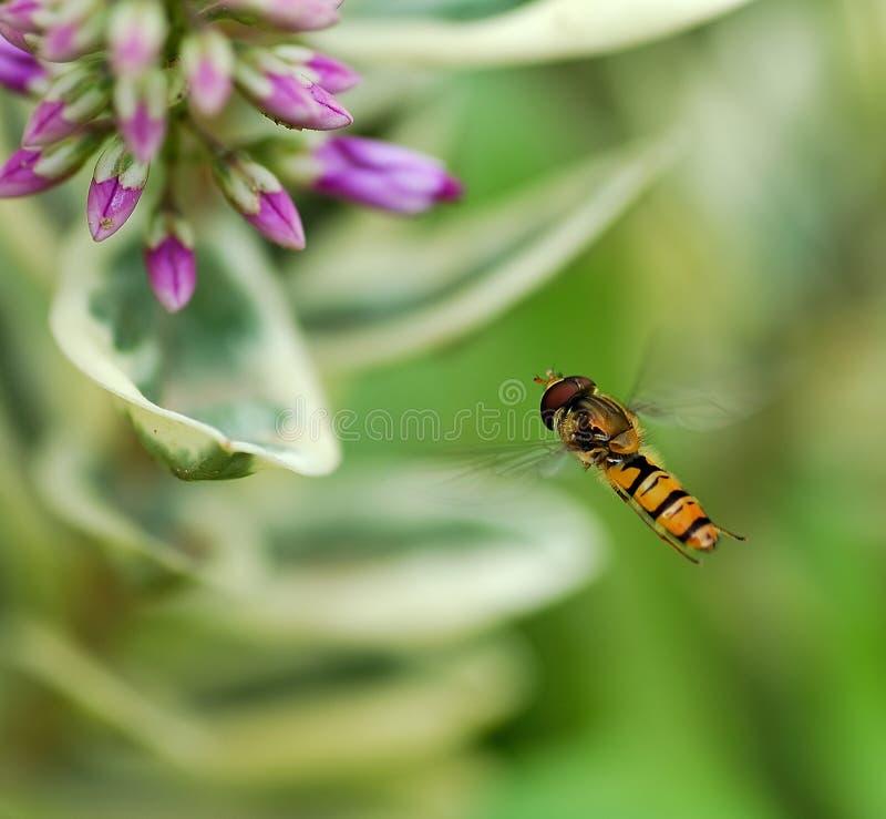 Het vliegen van het insect royalty-vrije stock foto