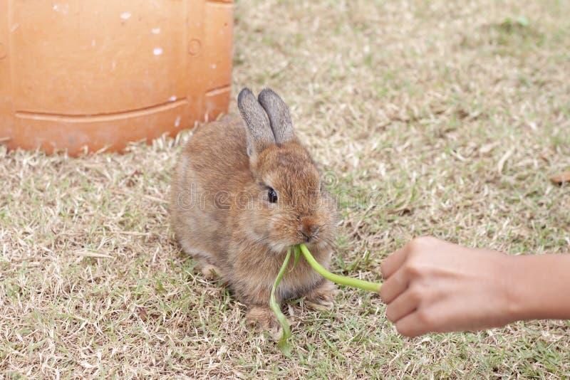 Het voeden ochtendglorie aan konijn royalty-vrije stock foto