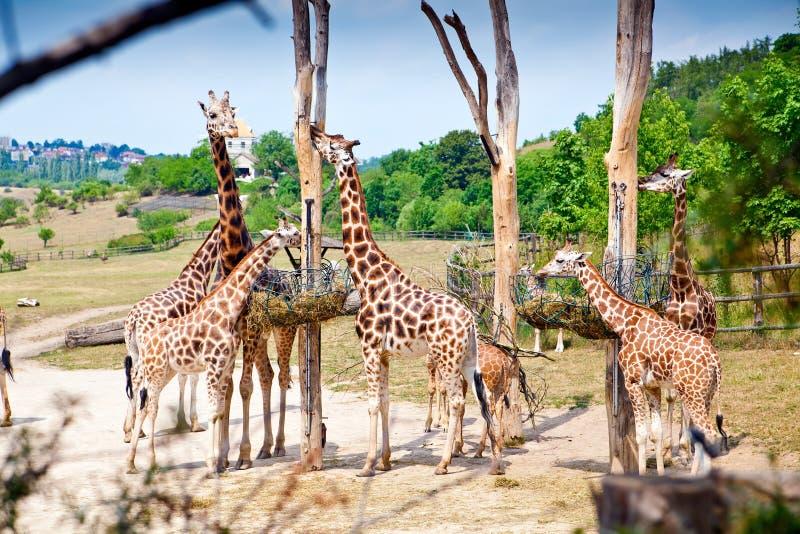 Het voeden Tijd voor Giraffen royalty-vrije stock afbeelding