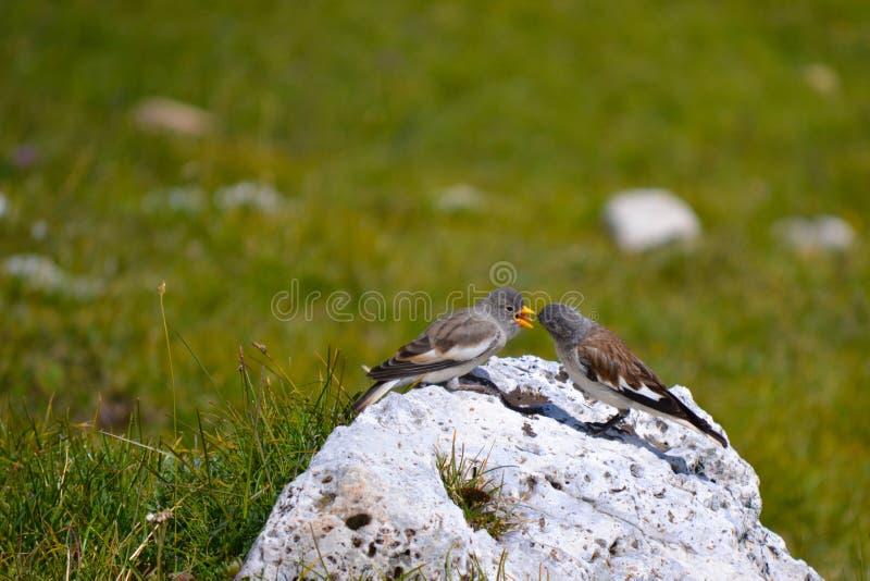 Het voeden tijd voor twee vogels stock afbeelding