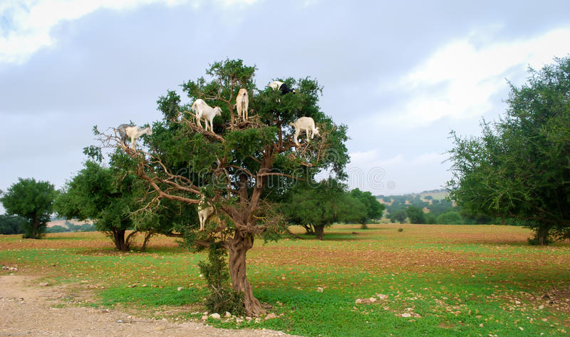 Het voeden van de geit op argan zaad royalty-vrije stock foto's