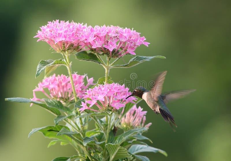 Het voeden van de kolibrie stock afbeelding
