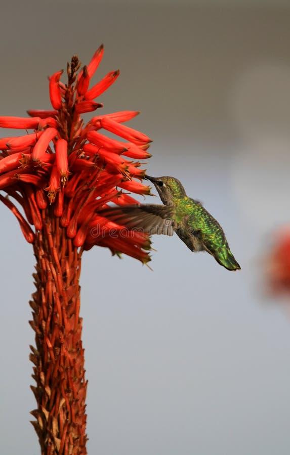 Het voeden van de kolibrie op bloem royalty-vrije stock afbeelding