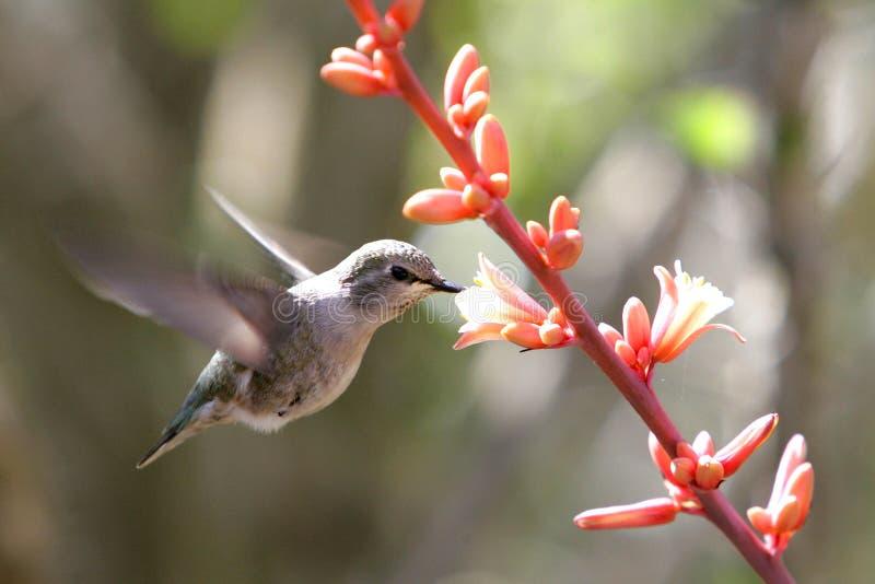 Het Voeden van de kolibrie op een Bloem royalty-vrije stock foto
