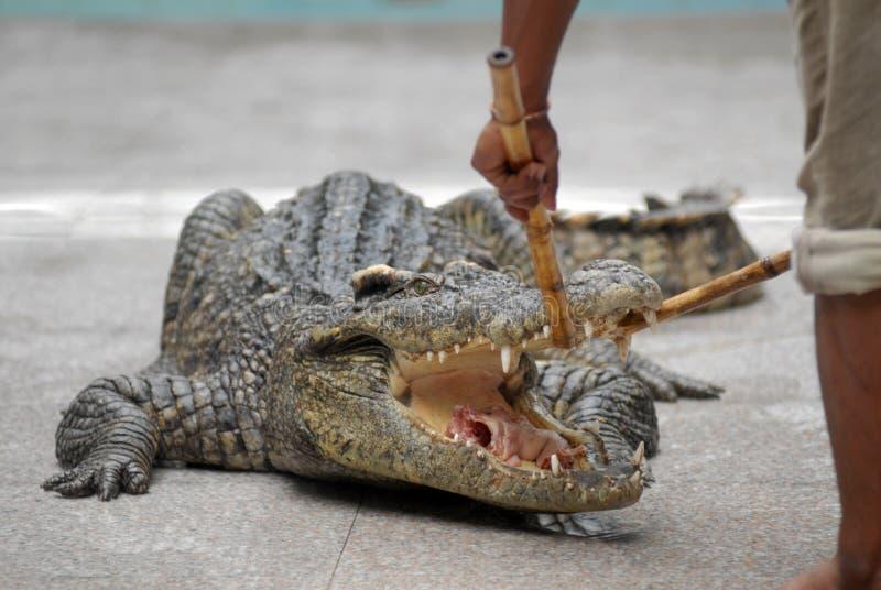 Het voeden van de krokodil stock afbeelding