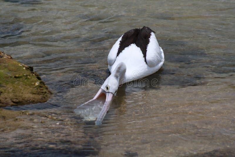 Het Voeden van de pelikaan royalty-vrije stock fotografie