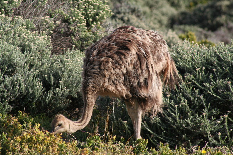 Het voeden van de struisvogel stock foto