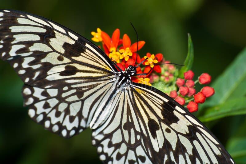 Het voeden van de Vlinder van de Vlieger van het document royalty-vrije stock foto's
