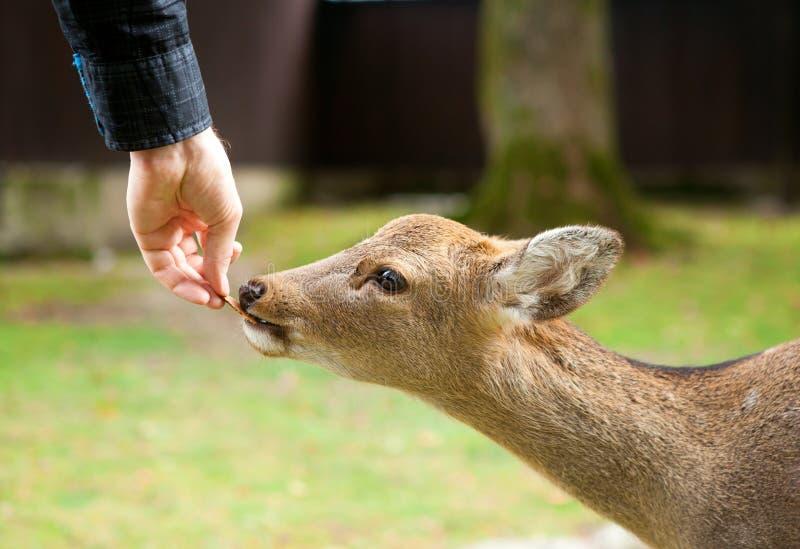 Het voeden van een hert in Nara stock afbeelding