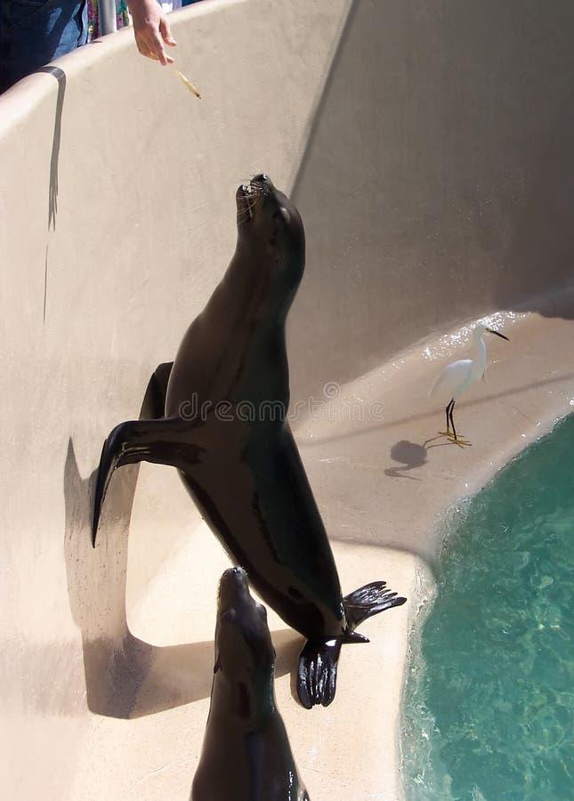 Het voeden van een Zeeleeuw stock afbeeldingen