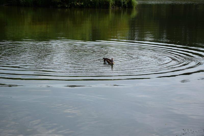 Het voeden van een zwemmende eendfamilie op een vijver in Europa stock afbeelding