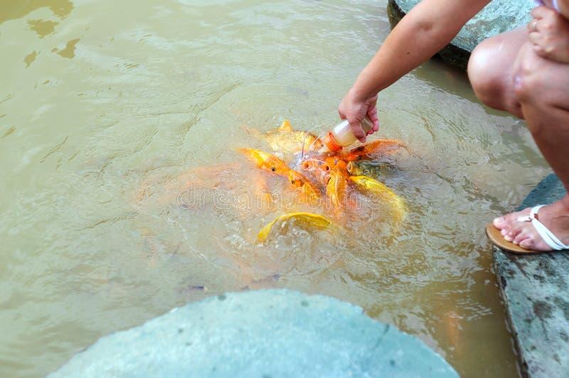 Het voeden van goudvis van het uitsteeksel in de vijver stock afbeeldingen
