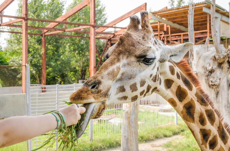 Het voeden van gras met de handen van van de girafgiraffa van Rothschild ` s camelopardalisrothschildi stock foto's