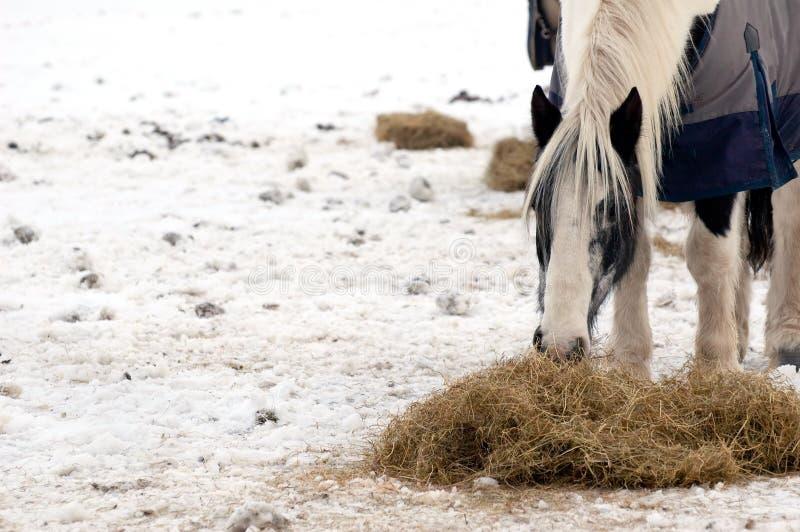 Het voeden van het paard stock afbeelding