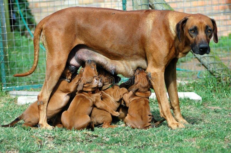 Het voeden van het puppy tijd royalty-vrije stock foto's