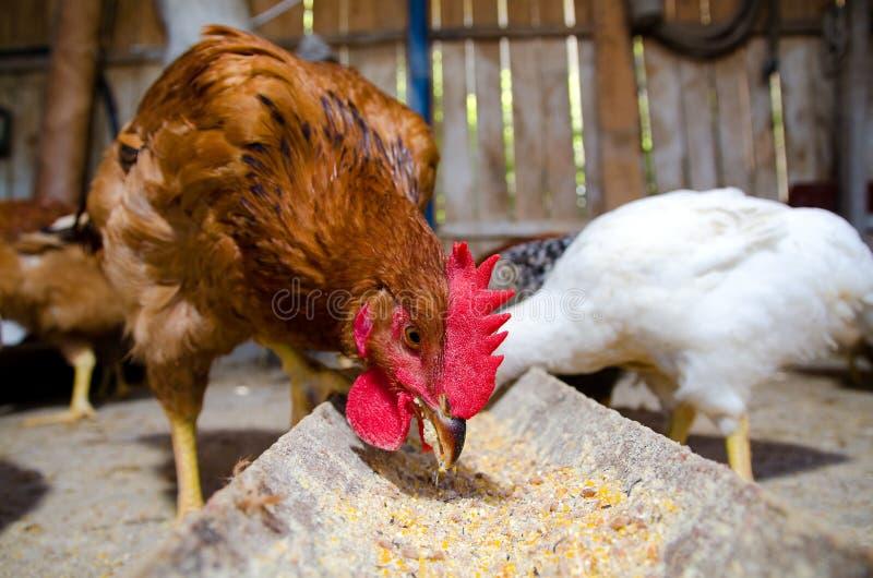 Het voeden van kippen royalty-vrije stock afbeeldingen