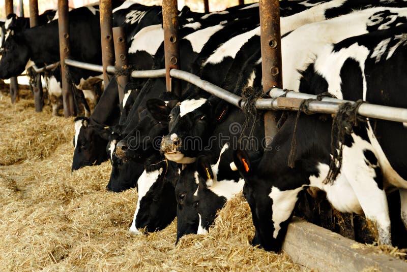 Het voeden van koeien stock fotografie