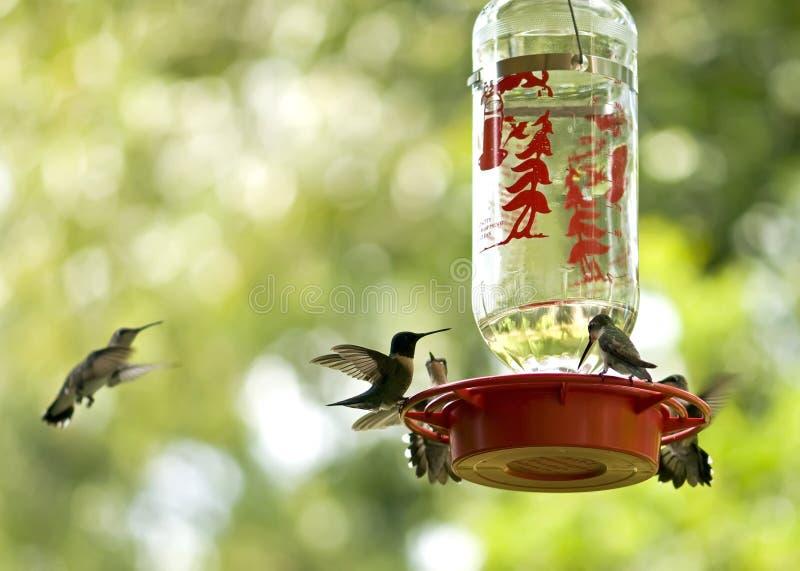 Het voeden van kolibries royalty-vrije stock foto
