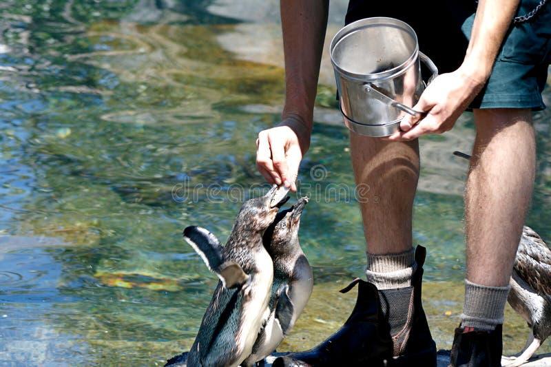 Het voeden van pinguïnen stock foto's