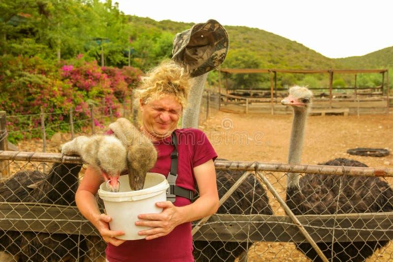 Het voeden van Struisvogels Oudtshoorn stock afbeeldingen