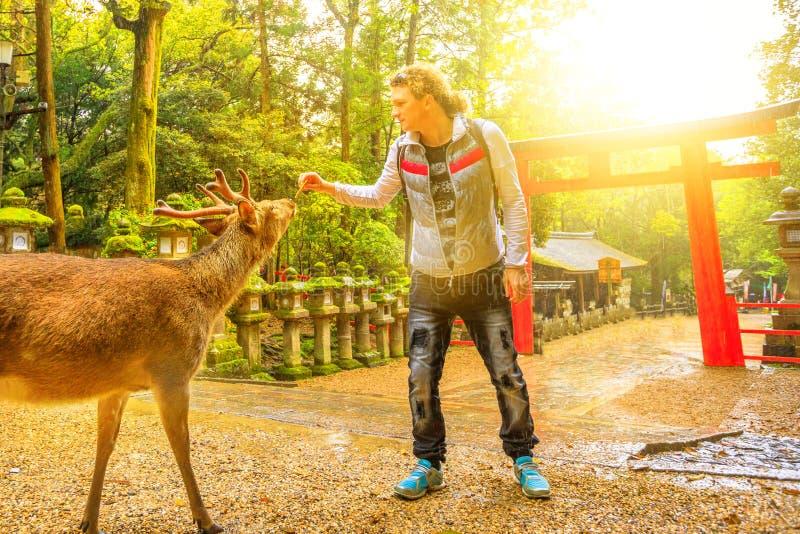 Het voeden van wilde herten in Nara stock afbeeldingen