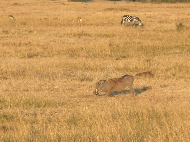 Het voeden wrattenzwijn in masaimara nationaal park, Kenia royalty-vrije stock afbeeldingen