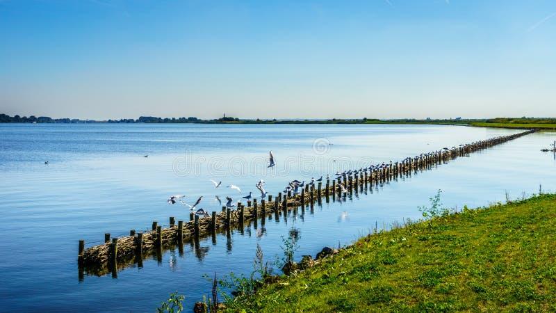 Het vogelreservaat van Veluwemeer met riet langs de kust stock foto
