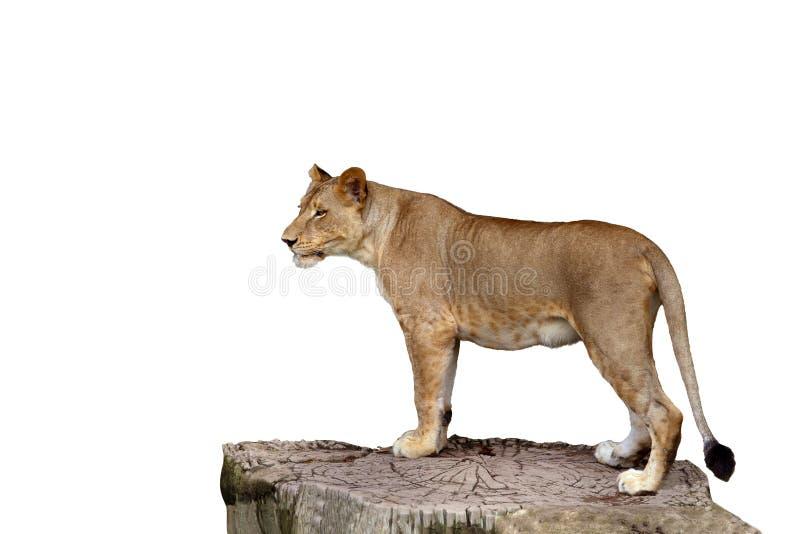 Het volledige lichaam die van leeuwin zich op grote boomstomp bevinden isoleert witte achtergrond stock foto's