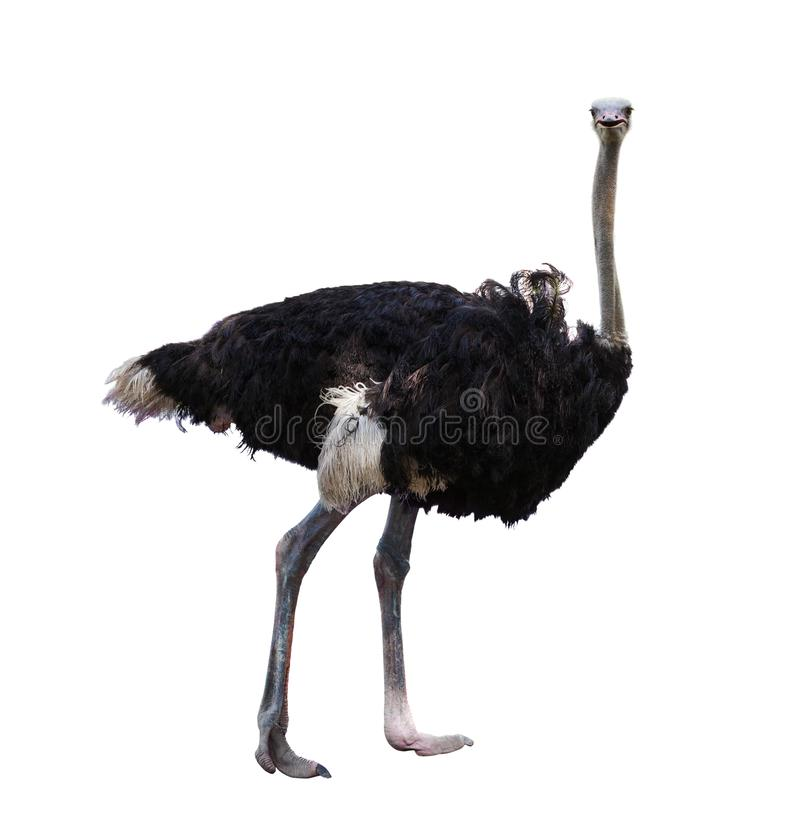 Het volledige lichaam van Afrikaanse struisvogel isoleerde witte achtergrond royalty-vrije stock fotografie