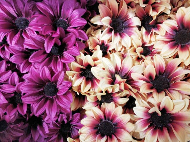 Het volledige madeliefje van de kaderlente bloeit achtergrond royalty-vrije stock fotografie