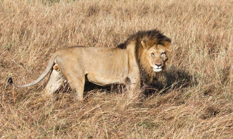 Het volledige portret van het lichaamsprofiel van mannelijke leeuw, Panthera-leo, die in lang gras van Masai Mara in Kenia lopen royalty-vrije stock afbeeldingen
