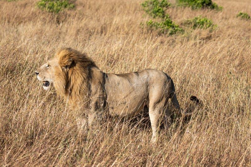 Het volledige portret van het lichaamsprofiel van mannelijke leeuw, Panthera-leo, die in lang gras van Masai Mara in Kenia lopen stock afbeelding