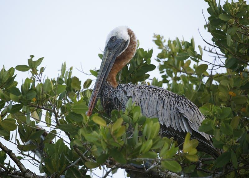 Het volwassen Bruine Pelikaan roosting in een mangroveboom - de Eilanden van de Galapagos royalty-vrije stock fotografie