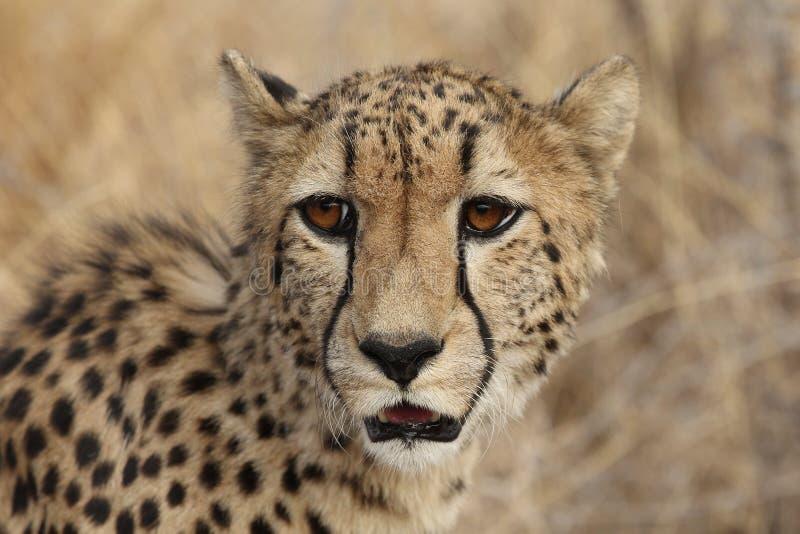 Het volwassen kijken van de Jachtluipaard royalty-vrije stock fotografie