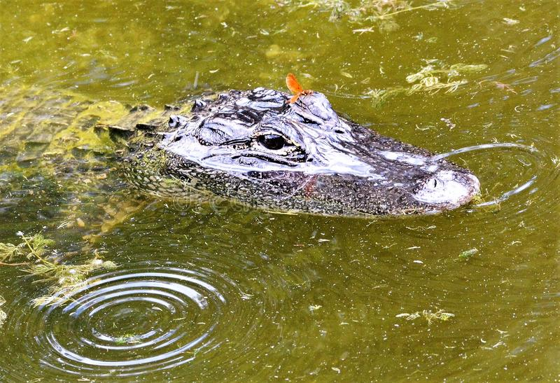 Het volwassen Krokodillehoofd met en het oranje gevleugelde insect streken op een brow neer die aan oppervlakte van het water in  royalty-vrije stock afbeelding