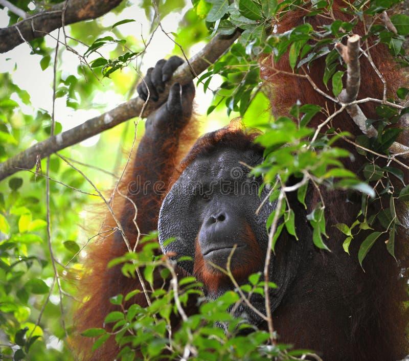 Het volwassen mannetje van de Orangoetan. stock foto's