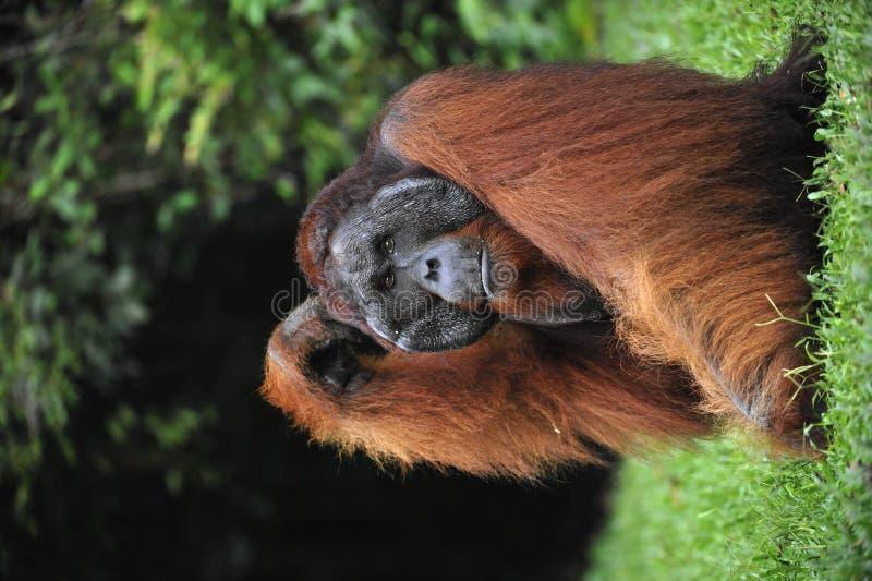 Het volwassen mannetje van de Orangoetan. royalty-vrije stock fotografie