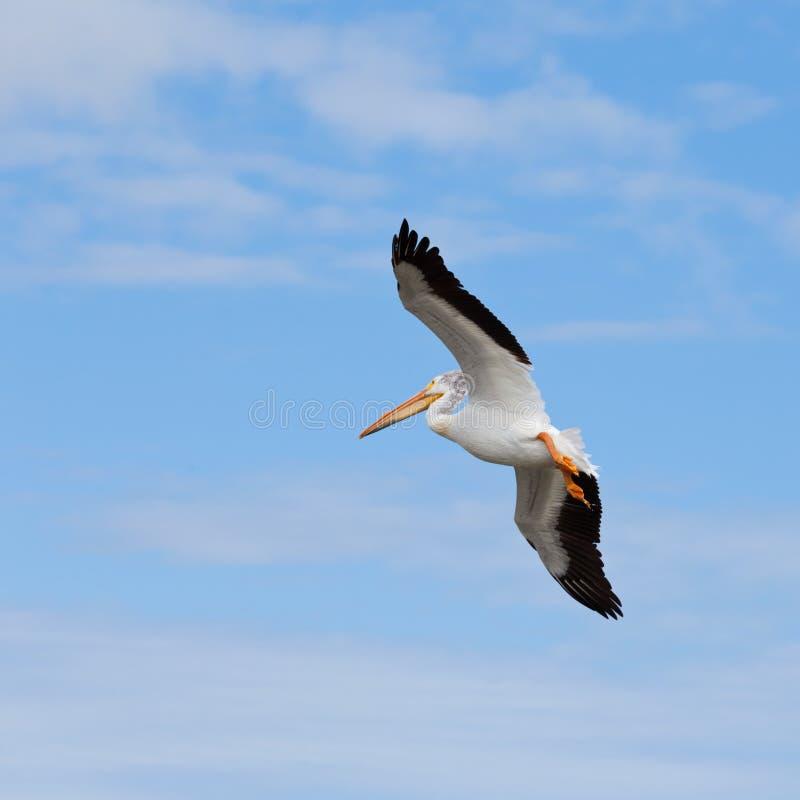 Het volwassen Witte onocrotalus van Pelikaanpelecanus vliegen stock foto's