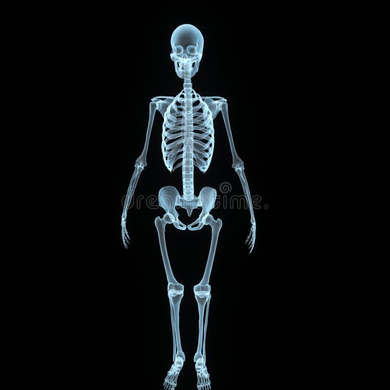 Het vooraanzicht van het skelet stock illustratie