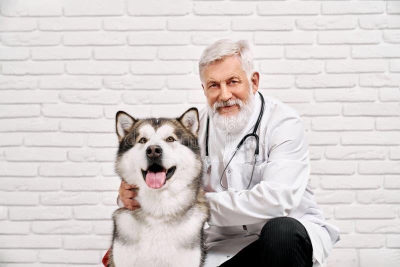 Het vriendelijke veterinaire stellen met grote malamute en het glimlachen stock foto
