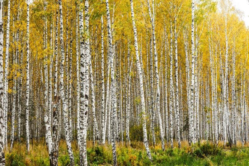 Het vroege bosje van de de herfstberk royalty-vrije stock afbeeldingen