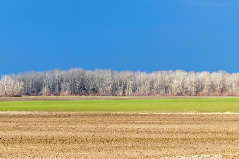 Het vroege landschap van het de lenteplatteland, Vroege de lentetarwe op een gebied royalty-vrije stock afbeeldingen