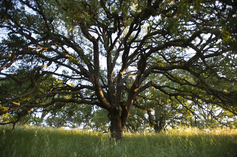 Het vroege ochtendzonlicht benadrukt een majestueuze blauwe eiken boom in de bossen van Onderstel Wanda stock foto's