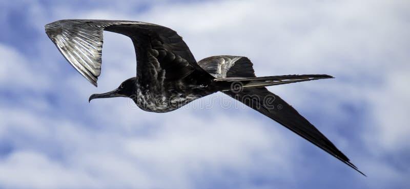 Het vrouwelijke het Fregat van de Galapagos vliegen stock foto